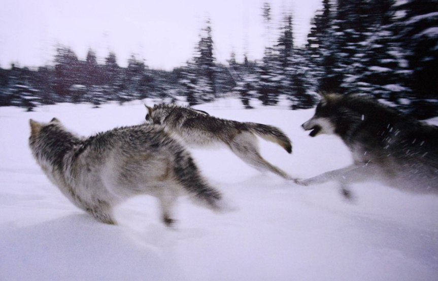 Pack Of Wolves Reverse Course After Hearing Elderly Woman Fall In Kitchen